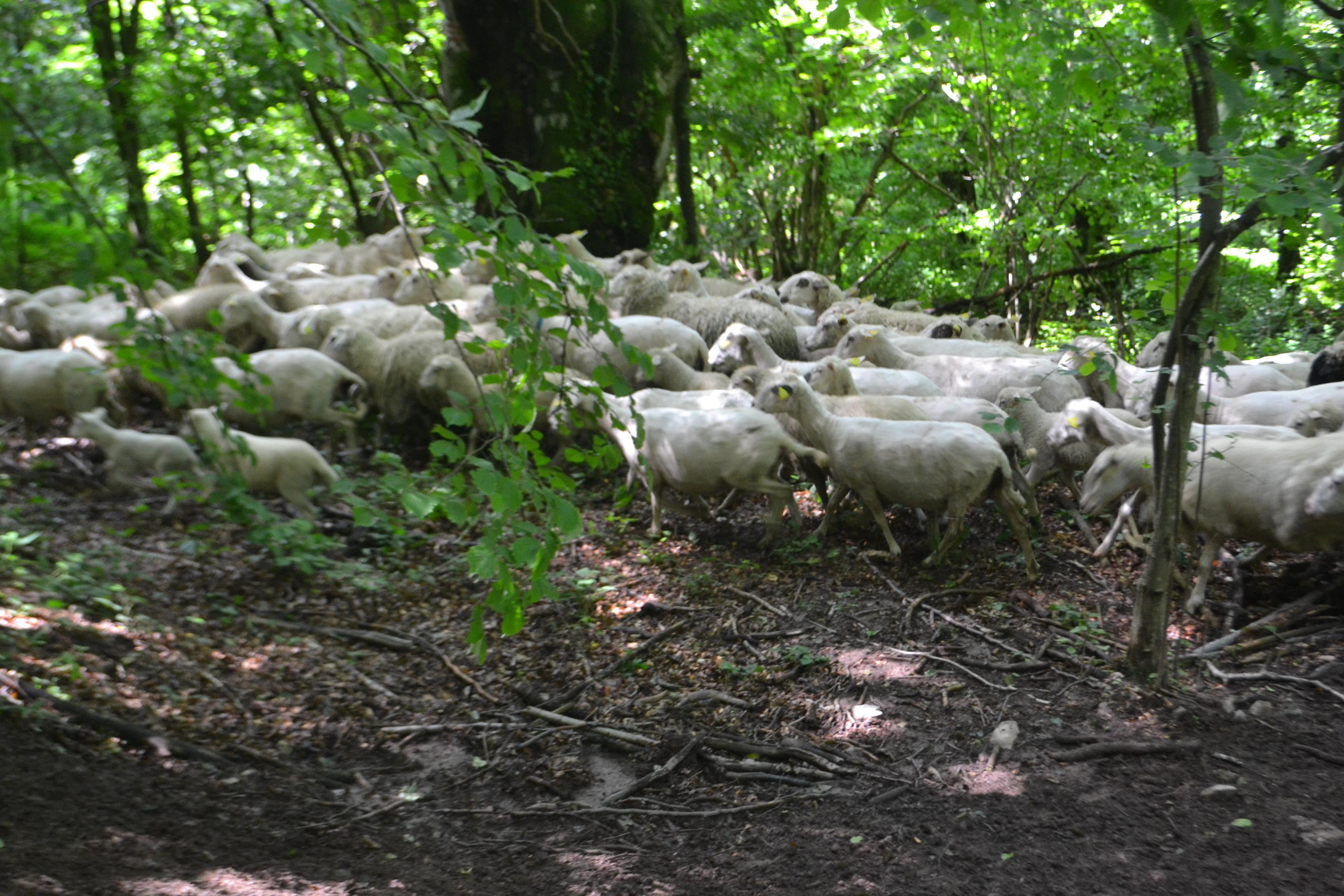 Ovcovi